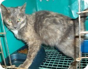 Domestic Shorthair Cat for adoption in Gaffney, South Carolina - Fandango