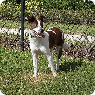 Hound (Unknown Type)/Terrier (Unknown Type, Medium) Mix Dog for adoption in Largo, Florida - Tank