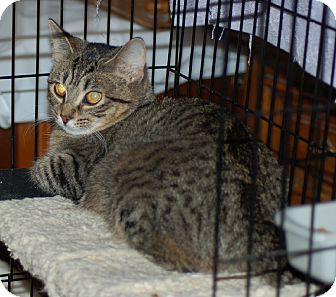 Domestic Shorthair Kitten for adoption in Fort Wayne, Indiana - whazzup