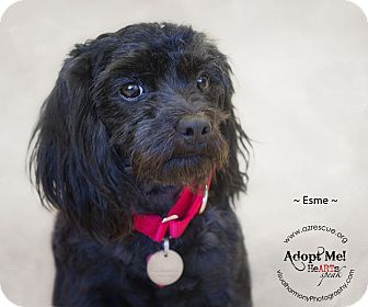 Toy Poodle Dog for adoption in Phoenix, Arizona - Esme