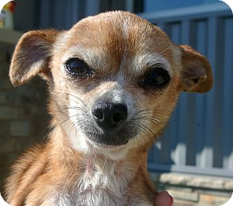 Chihuahua Mix Dog for adoption in white settlment, Texas - Emily