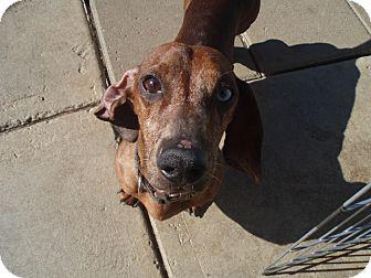 Dachshund Dog for adoption in Atascadero, California - Blue