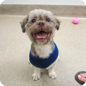 Shih Tzu Mix Dog for adoption in Gilbert, Arizona - Lovey