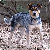 Adopt A Pet :: SPUMONI - Phoenix, AZ