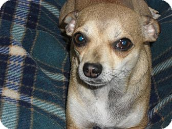 Chihuahua Mix Dog for adoption in Fort Lupton, Colorado - Sherena