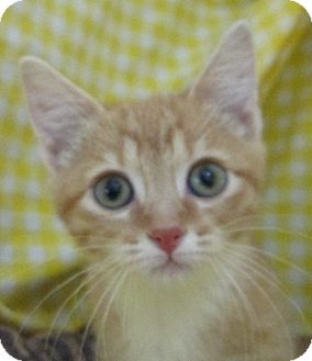 Domestic Shorthair Kitten for adoption in Pueblo West, Colorado - Fedex