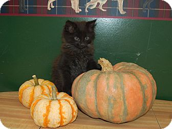 Domestic Mediumhair Kitten for adoption in North Judson, Indiana - Coffee