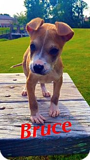 Boxer/Spaniel (Unknown Type) Mix Puppy for adoption in knoxville, Tennessee - BRUCE