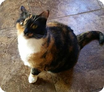 Calico Cat for adoption in Bunnell, Florida - Chloe