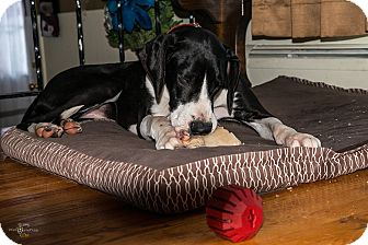 Great Dane Dog for adoption in Phoenixville, Pennsylvania - Maddie