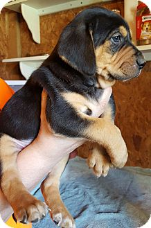 Bloodhound/Black and Tan Coonhound Mix Puppy for adoption in Trenton, New Jersey - Stoney