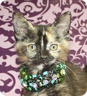 Domestic Shorthair Kitten for adoption in Jackson, Michigan - Bonnie