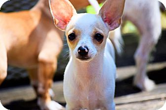 Chihuahua Mix Puppy for adoption in Arden, North Carolina - Steven