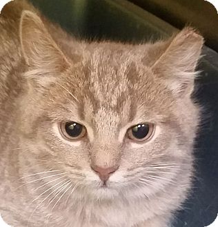 Domestic Shorthair Kitten for adoption in Adrian, Michigan - Andrew