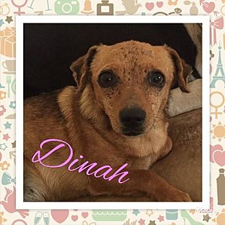 Chihuahua/Dachshund Mix Dog for adoption in Snyder, Texas - Dinah