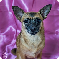 Adopt A Pet :: Chia - Studio City, CA