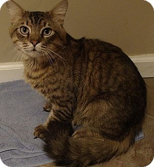 Maine Coon Cat for adoption in Tampa, Florida - Bogey