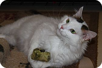 Domestic Shorthair Cat for adoption in North Branford, Connecticut - Vitti