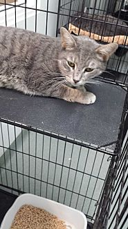 Domestic Shorthair Cat for adoption in Westminster, California - Ribbon