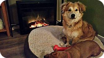 Corgi Mix Puppy for adoption in Edmonton, Alberta - Danny