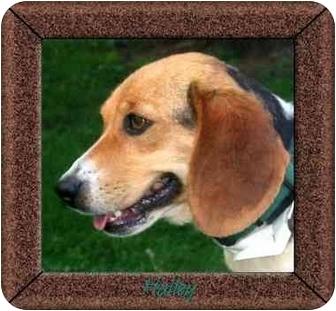 Beagle Dog for adoption in Portland, Ontario - Halley