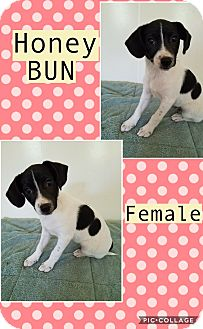 Jack Russell Terrier/Labrador Retriever Mix Puppy for adoption in East Hartford, Connecticut - Honey Bun-pending adoption