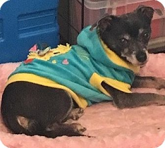 Chihuahua Mix Dog for adoption in Mesa, Arizona - Scotty