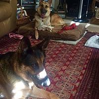 German Shepherd Dog Dog for adoption in San Diego, California - Locket