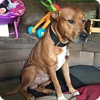 Australian Shepherd/Bull Terrier Mix Dog for adoption in Port Saint Lucie, Florida - Truck, Scooby Doo