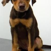 Adopt A Pet :: Neal - Chicago, IL