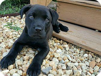 Labrador Retriever Mix Puppy for adoption in Smithfield, North Carolina - Bentley