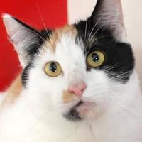 Adopt A Pet :: Kimba - Victoria, TX