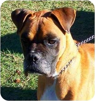 Boxer Dog for adoption in Gainesville, Florida - Hemi