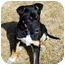 Photo 2 - Shepherd (Unknown Type)/Australian Cattle Dog Mix Puppy for adoption in Broomfield, Colorado - Poppy