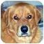Photo 1 - Golden Retriever Mix Dog for adoption in Houston, Texas - Cody