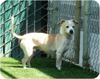 Chihuahua Mix Dog for adoption in Sacramento, California - Zachery