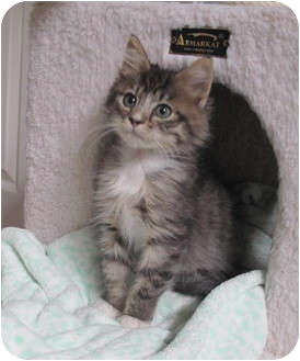 Maine Coon Kitten for adoption in Davis, California - Rikki Tikki Tavi