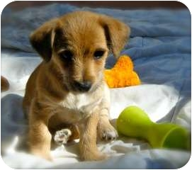 Chihuahua Mix Puppy for adoption in San Diego, California - Charlie