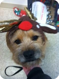 Tibetan Terrier Mix Dog for adoption in Shirley, New York - SEYMORE