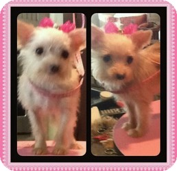 Yorkie, Yorkshire Terrier/Chihuahua Mix Dog for adoption in Mary Esther, Florida - Mitzi