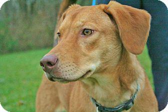 Labrador Retriever/Mountain Cur Mix Dog for adoption in Sidney, Ohio - Kensi