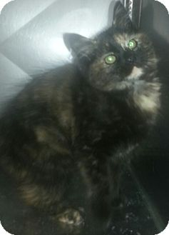 Domestic Mediumhair Kitten for adoption in Pilot Point, Texas - ELLA