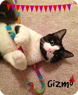 Domestic Shorthair Cat for adoption in Plano, Texas - GIZMO - KING SIZE PURRSONALITY