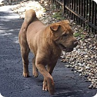 Adopt A Pet :: Spice - Gainesville, FL