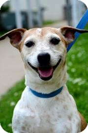 Terrier (Unknown Type, Small)/Rat Terrier Mix Dog for adoption in Fort Smith, Arkansas - Hollywood
