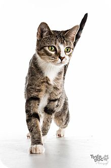 Domestic Shorthair Cat for adoption in Tulsa, Oklahoma - Gucci