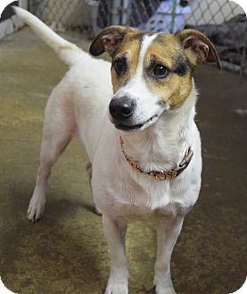 Jack Russell Terrier Mix Dog for adoption in Morristown, New Jersey - Eddie