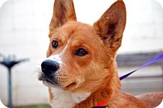 Husky/Shepherd (Unknown Type) Mix Dog for adoption in Fort Smith, Arkansas - Jack