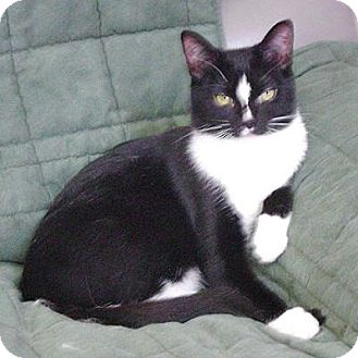 Domestic Shorthair Cat for adoption in Howell, Michigan - Tiki and Lexi