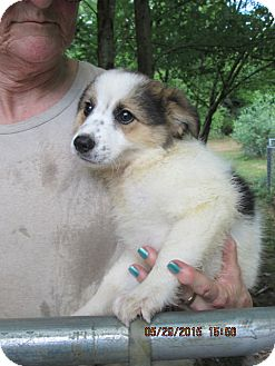 Jack Russell Terrier/Border Collie Mix Puppy for adoption in Brookside, New Jersey - Minnie